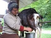 Woman milking a goat