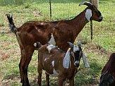 Goats at a goat farm