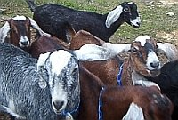 herd of dairy goats